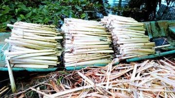 Nông Dân Cà Mau trồng Bồn Bồn thu nữa triệu mỗi ngày