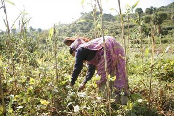 Ấn Độ có số người sản xuất nông nghiệp hữu cơ lớn nhất thế giới
