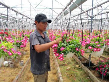 Làm nhà kính trồng dạ yến thảo, nhàn nhã thu tiền mỗi ngày