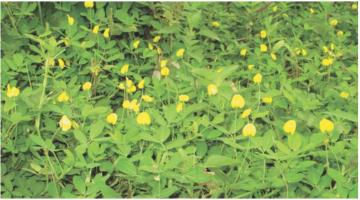 Một số điều cần biết về cây lạc dại - Cây phân xanh che phủ đất