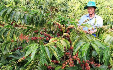 Ngành cà phê lao đao vì biến đổi khí hậu