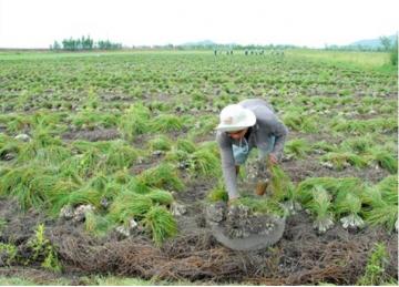 An Giang: Mô hình trồng rau sạch của người phụ nữ Khmer
