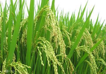 Phát hiện 4 giống lúa mới có khả năng chống oxy hóa cao
