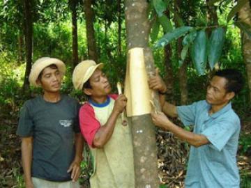 Nông đặc sản Quảng Ngãi - Quế Trà Bồng